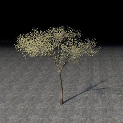 Sapling, Eucalyptus Scrub