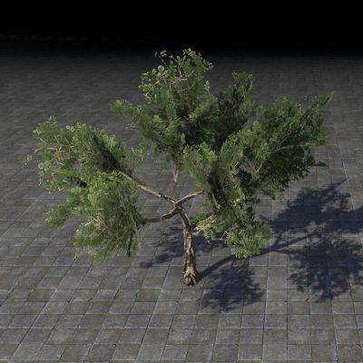 Sapling, Desert Acacia
