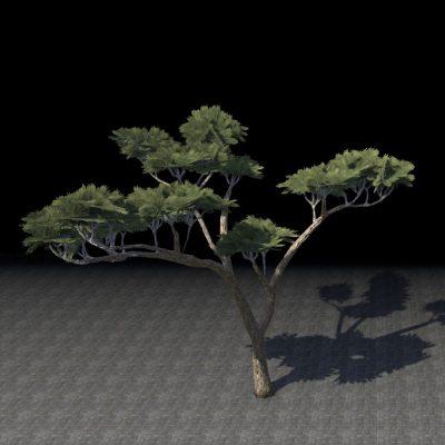 Tree, Anequine Acacia Arching