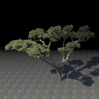 Tree, Anequine Acacia Forking