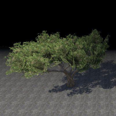 Tree, Desert Acacia